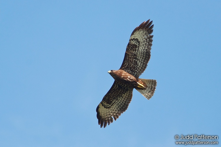 Short-tailed Hawk, Everglades National Park, Florida, United States