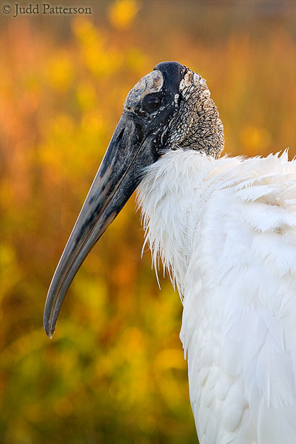 Wood Stork at Dawn, Everglades National Park, Florida, United States