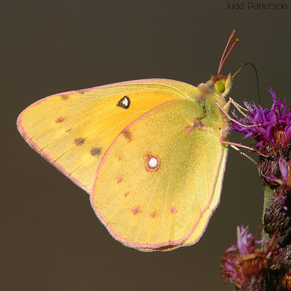 Clouded Sulphur, Tuttle Creek State Park, Kansas, United States