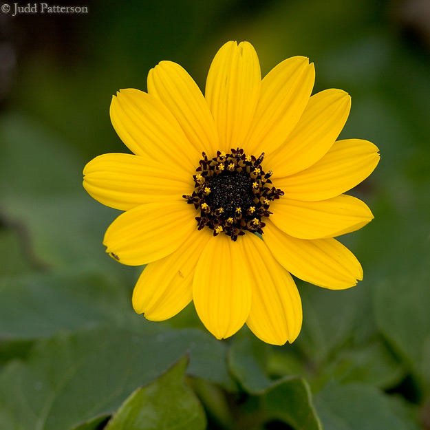 Beach Sunflower, Ft. DeSoto Park, Florida, United States