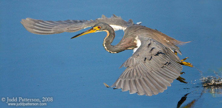 Flight of the Tricolored, Everglades National Park, Florida, United States