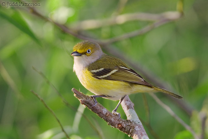 White-eyed Vireo, Everglades National Park, Florida, United States
