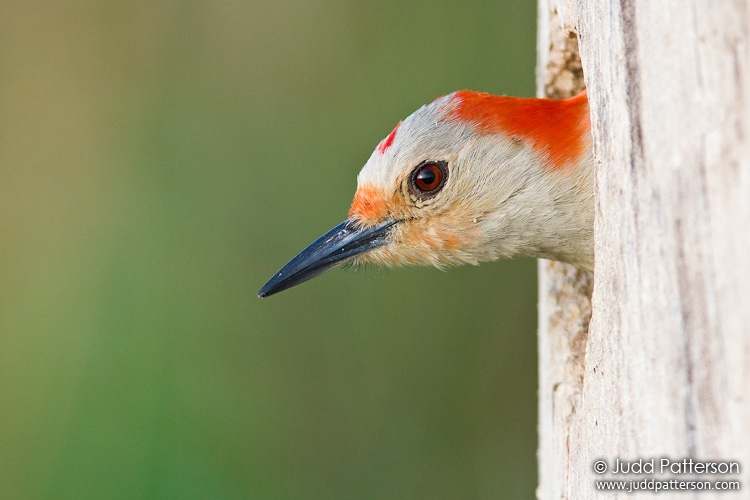 Red-bellied Woodpecker, Everglades National Park, Florida, United States
